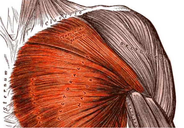 pectoralis major pectoralis minor gogus kasi