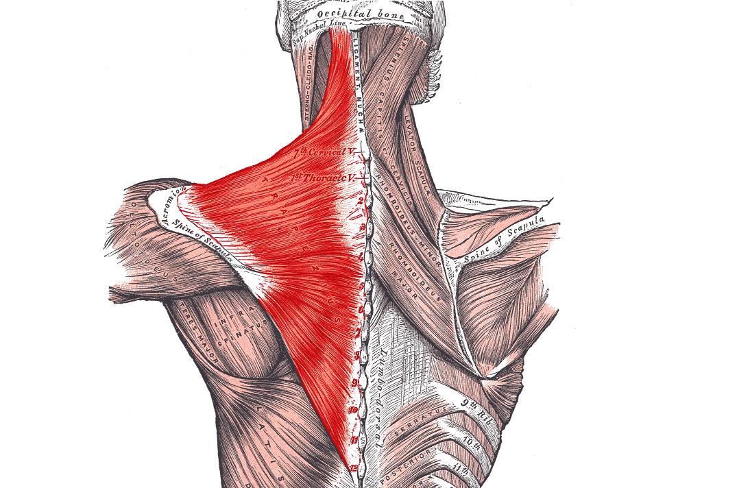 trapez trapezius kasinin fonksiyon ve hareketi